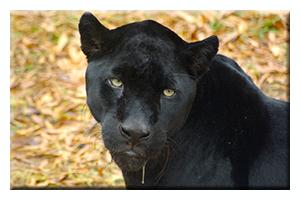 Oog in oog met zwarte Jaguar